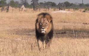 Cecil_the_lion_in__3388298b (1)